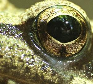 occhio rana web